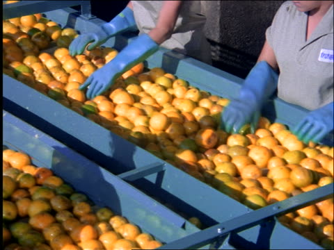 Workers' hands on assembly line selecting oranges from conveyor belt / Brazil