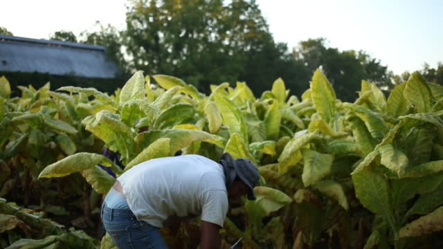 workers harvest burley tobacco grown by tucker farms in shelbyville kentucky us on thursday august 23 2018 - agricultural cooperative stock videos and b-roll footage