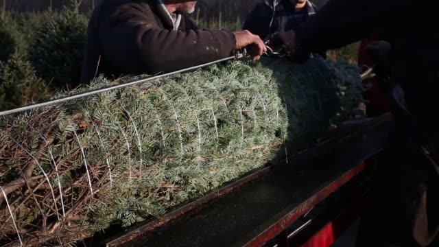 Workers harvest Christmas trees at Brown's Tree farm in Muncy Pennsylvania US on Tues December 8 2015 Photographer Luke Sharrett/Bloomberg Shots...
