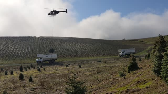 workers harvest christmas trees at noble mountain tree farm on november 20, 2020 in salem, oregon. noble mountain is one of the largest christmas... - christmas tree stock videos & royalty-free footage