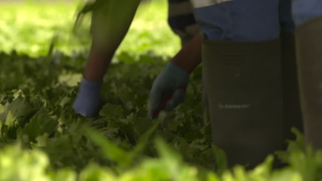 "workers harvest iceberg lettuces on farm, uk - ""bbc natural history"" video stock e b–roll"