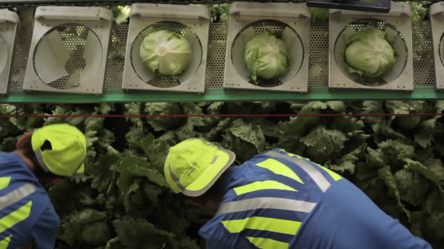 tl workers harvest iceberg lettuces, uk - harvesting stock videos & royalty-free footage