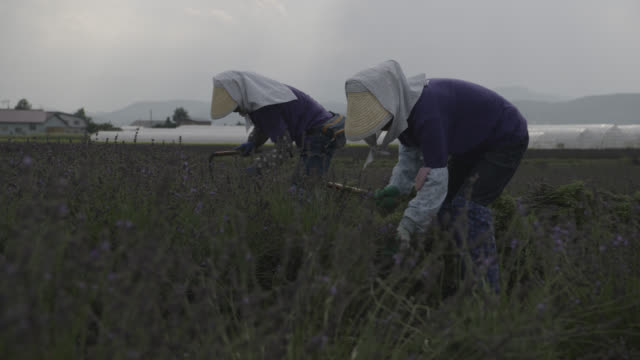 workers harvest lavender, japan. - agricultural activity stock videos & royalty-free footage