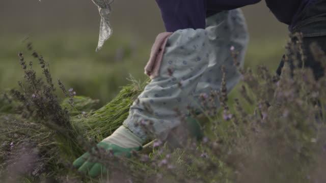 workers harvest lavender, japan. - 農作業点の映像素材/bロール