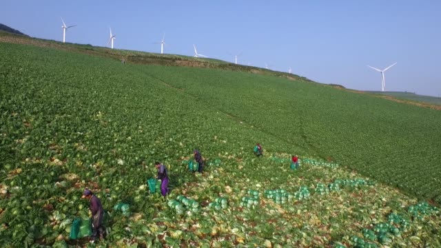 Workers harvest napa cabbages in a field as wind turbines stand in the background in this aerial video taken in Taebaek South Korea on Monday Aug 31...