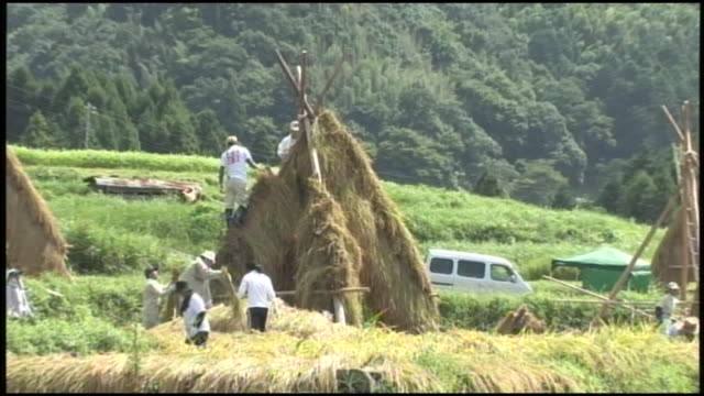 workers harvest sake rice and thatch the rice on yozukuhade frames to dry. - shimane prefecture stock videos & royalty-free footage
