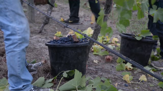 workers harvest shiraz grapes by hand during sunrise at the helen & joey estate vineyard in the yarra valley region of greater melbourne, australia,... - agricultural activity stock videos & royalty-free footage