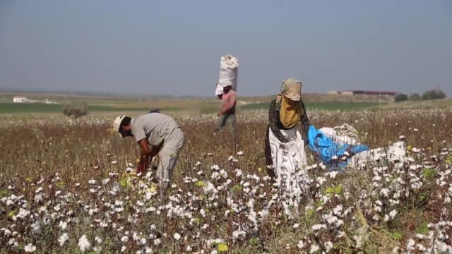 workers harvest the cotton crop in a cotton field in the cukurova district of adana southern turkey on august 26 2018 interviews with farmer veli... - harvesting stock videos and b-roll footage