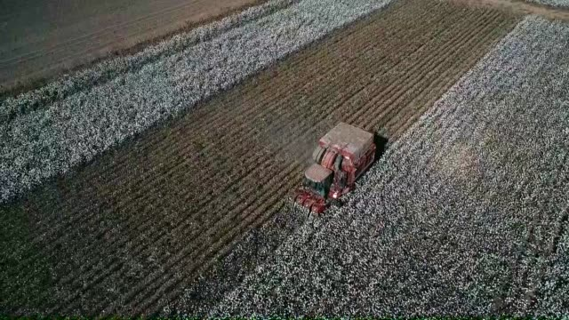 workers harvest the cotton crop in a cotton field in the cukurova district of adana southern turkey on october 07 2018 - harvesting stock videos and b-roll footage