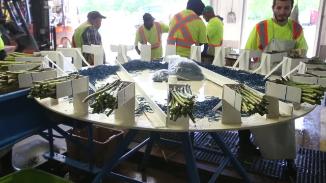 workers harvest wash trim and package fresh asparagus at connery's riverdale farms in southport manitoba canada on thursday june 6 2019 - マニトバ州点の映像素材/bロール