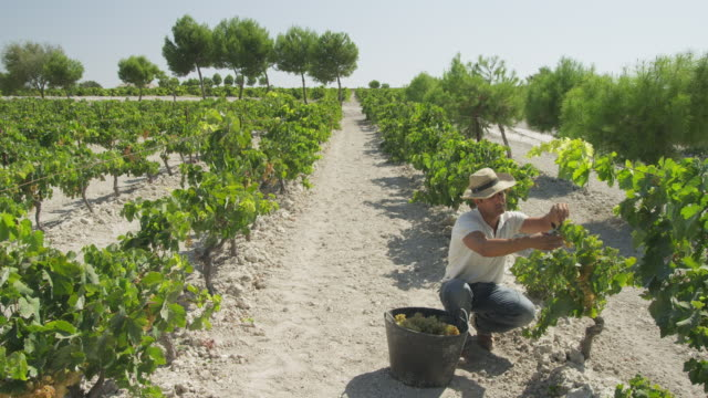 ws workers harvesting grapes in vineyard / near jerez de la frontera, andalusia, spain - pruning shears stock videos & royalty-free footage