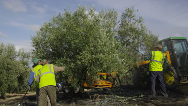ws workers harvesting olives with the help of sticks and a mechanical shaker red r3d 4k - fare la raccolta video stock e b–roll