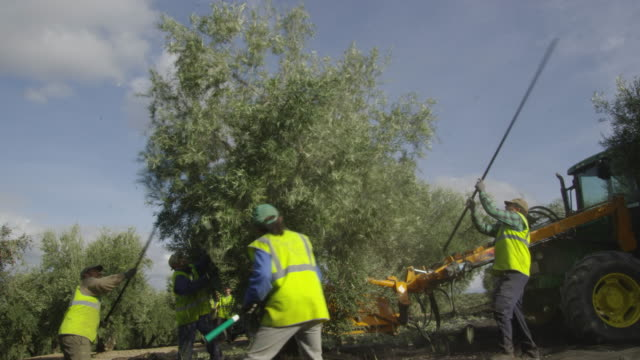 ws workers harvesting olives with the help of sticks and a mechanical shaker red r3d 4k - bulldozer stock videos & royalty-free footage