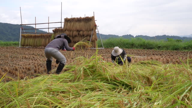 workers harvesting rice plant in niigata, the rice capital of japan: morning fog hangs the hoshitoge terraced rice fields in tokamachi. a worker... - rice stock videos & royalty-free footage