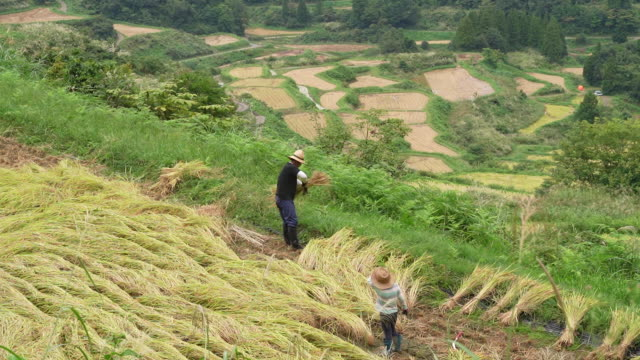 workers harvesting rice plant talking and laughing in niigata the rice capital of japan morning fog hangs the hoshitoge terraced rice fields in... - 稲点の映像素材/bロール