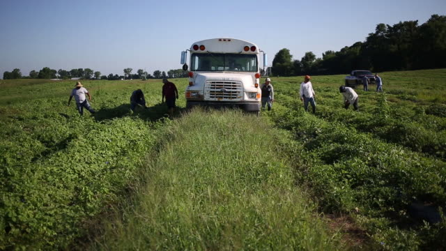 workers harvesting watermelons grown by frey farms in poseyville indiana us on thursday august 1 2019 - agricultural cooperative stock videos and b-roll footage