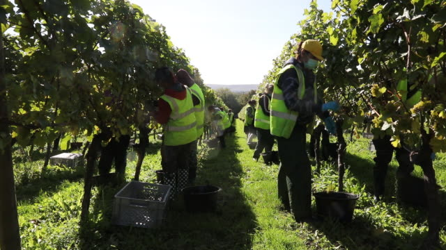 workers harvesting wine grapes at nyetimber vineyard in tillington and west chiltington, u.k., on wednesday, october 7, 2020. - grape stock videos & royalty-free footage