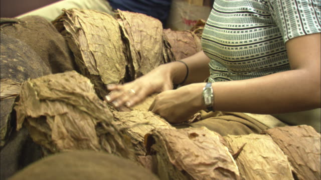 workers in a cigar factory sort through dried tobacco leaves. - tobacco crop stock videos & royalty-free footage