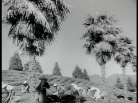 vídeos y material grabado en eventos de stock de workers in abhazian tea field harvesting tea. woman hand picking tea leaves placing into shoulder hanging basket. wwii - georgia