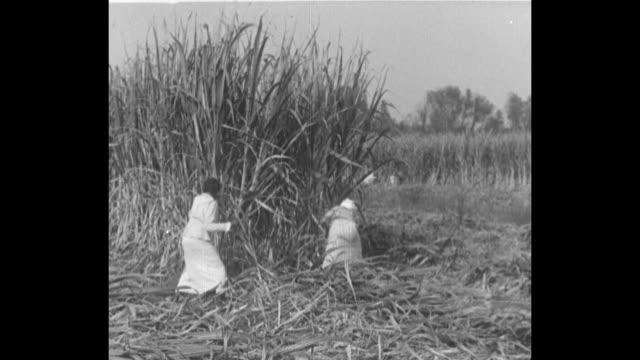 Workers in field cut sugar cane plants / mechanical arm loads sugar cane stalks onto truck / stalks move on conveyor belt into sugar cane mill / CU...