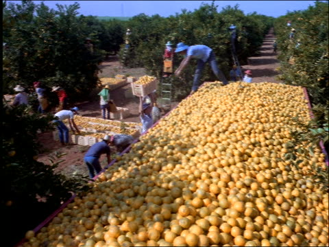 Workers in orange grove dumping oranges into truck / Brazil
