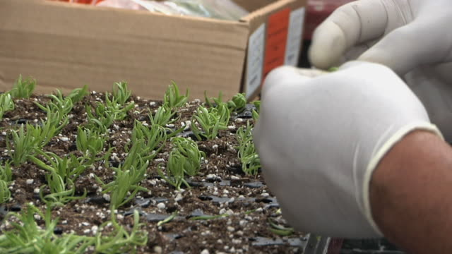 CU ZO MS Workers inserting sedum cuttings into plug tray at commercial greenhouse, Carleton, Michigan, USA