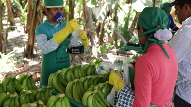 workers labelling and packing the previously washed and cut banana bunches before putting them in cases to end transportation and selling - banana stock videos & royalty-free footage
