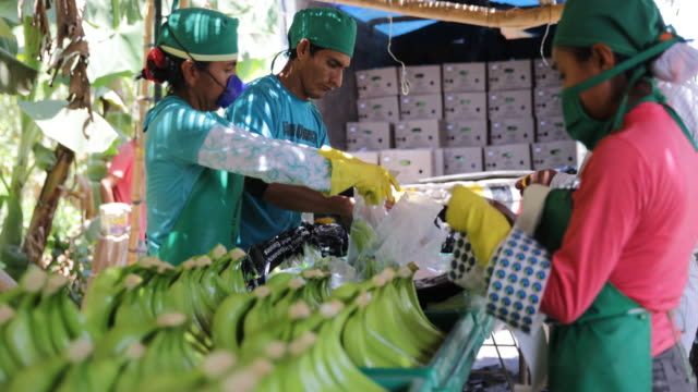workers labelling and packing the previously washed and cut banana bunches before putting them in cases to end transportation and selling. - banana stock videos & royalty-free footage