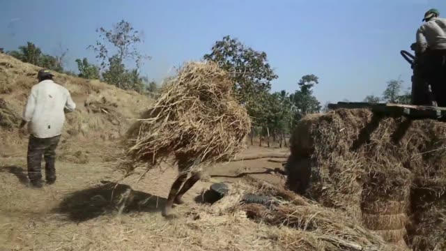 vidéos et rushes de workers load dried grass bales onto a truck near dahanu road in kainad maharashtra india on saturday dec 21 a worker arrives into yard with a bullock... - animaux au travail