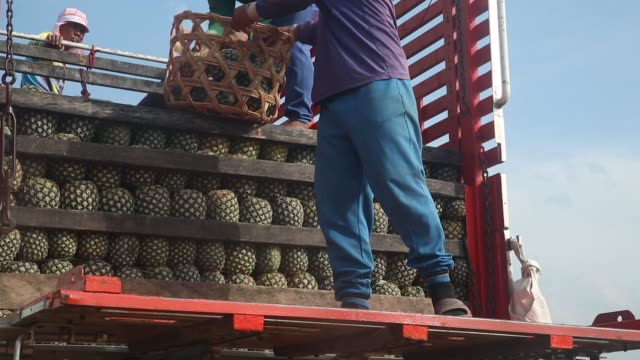 workers load harvested pineapples onto a truck at a fair-trade pineapple plantation in pranburi, pranchuap khiri khan, thailand, on friday, dec. 1... - tropical fruit stock videos & royalty-free footage