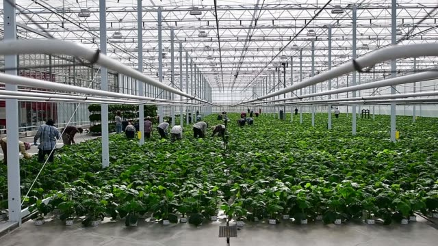 Workers organize plants in Roelands Plant farm in Lambton Shores Ontario Canada on October 10 2017 Photographer James MacDonald Shots wide shot of...