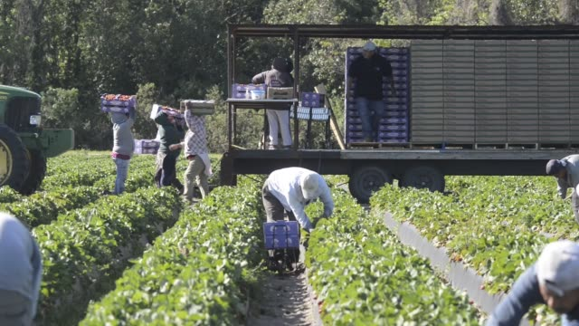 vídeos de stock, filmes e b-roll de workers pick fresh strawberries at the parksdale farm market farm in plant city florida us close ups of a workers hand picking strawberries and... - flórida eua
