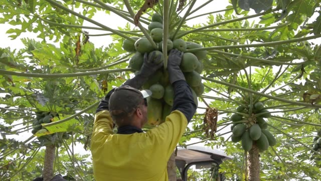 workers pick ripe red papaya from trees in an orchard at the skybury coffee pty papaya plantation in the atherton tablelands queensland australia on... - papaya stock videos & royalty-free footage