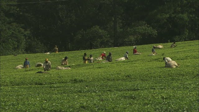 workers pick tea leaves at a tea plantation.  - 作物点の映像素材/bロール