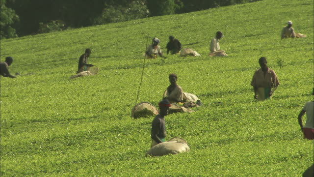 Workers pick tea leaves at a tea plantation.