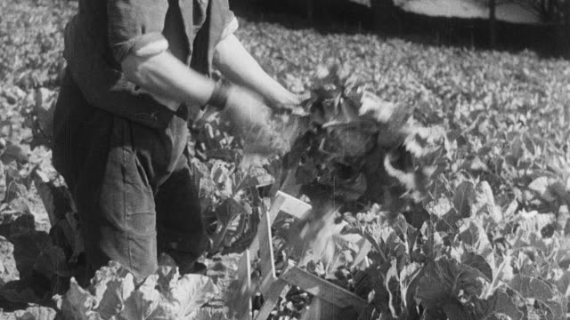 montage workers picking and packing cauliflower in boxes / england, united kingdom - crop stock videos and b-roll footage
