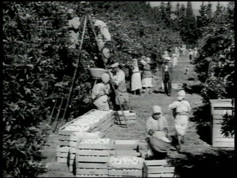 workers picking oranges in orange groive some using ladder crates on ground fg ms young teen female on ladder picking oranges ms young female holding... - 1951 stock videos and b-roll footage