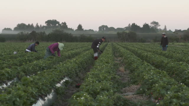Workers picking strawberries in early morning at strawberry farm