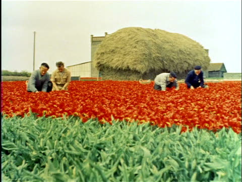 stockvideo's en b-roll-footage met 1958 workers picking tulip flowers from bulb fields / netherlands - archief