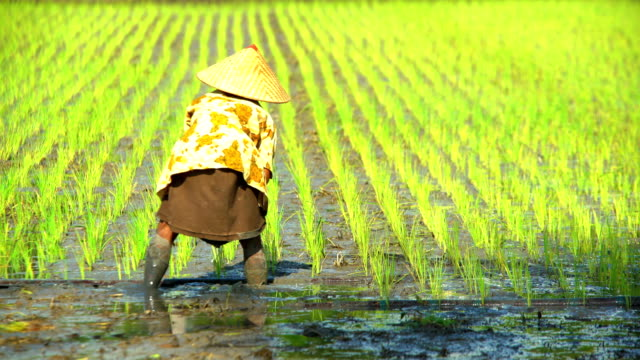 vídeos de stock, filmes e b-roll de workers planting rice seedlings in fields java indonesia - rice paddy