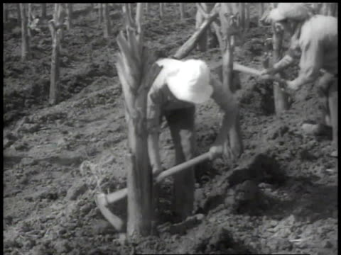 1938 ha workers planting rows of banana trees - banana stock videos and b-roll footage