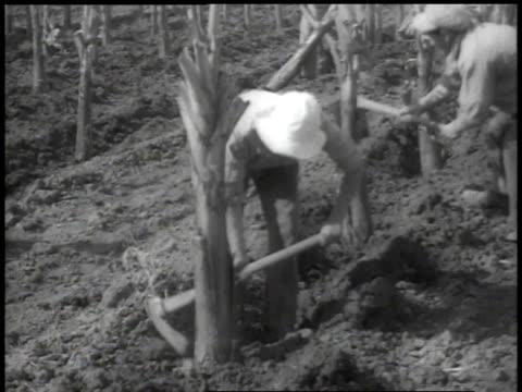 stockvideo's en b-roll-footage met 1938 ha workers planting rows of banana trees - palestijnse cultuur