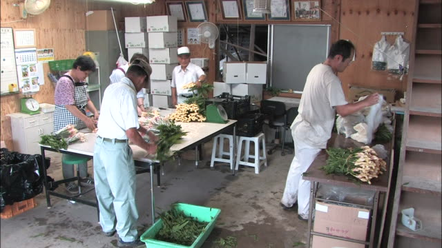workers prepare fresh shussai ginger for shipment. - shimane prefecture stock videos & royalty-free footage