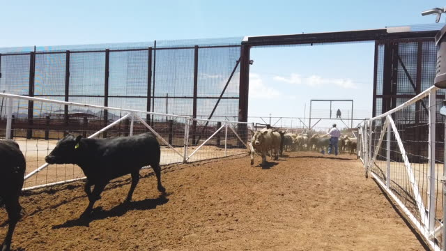 workers process cattle from mexico after they were brought into the united states through a gate in the border wall at the santa teresa international... - cattle stock videos & royalty-free footage