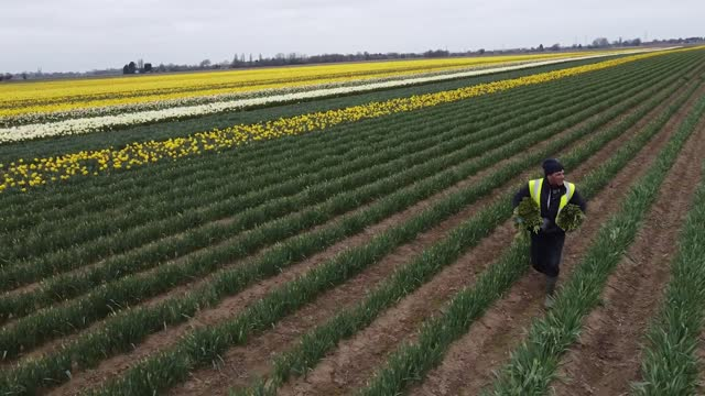 workers rogue a field of daffodils at taylors bulbs near holbeach in lincolnshire, where the fourth generation family firm plant over 35 millions... - plant bulb stock videos & royalty-free footage