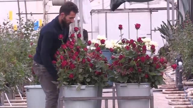 workers select and cut roses for the upcoming valentine's day in a cut flower nursery in turkey's southeastern province of sanliurfa on february 07,... - cut video transition stock videos & royalty-free footage