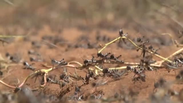 workers spray young locusts hopper bands in northern and central areas of kenya where mature locusts laid eggs recently - east africa stock videos & royalty-free footage