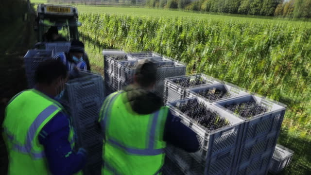 workers stacking baskets of grapes harvested at nyetimber vineyard in tillington and west chiltington, u.k., on wednesday, october 7, 2020. - grape stock videos & royalty-free footage