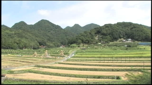 workers toil in rice paddies while yozukuhade frames loom over them. - shimane prefecture stock videos & royalty-free footage