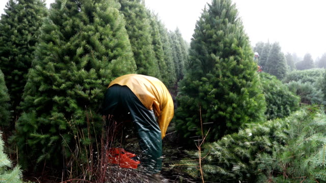 workers use chainsaws to cut down douglas fir christmas trees at the holiday tree farms on november 18, 2017 in monroe, oregon. - cut video transition stock videos & royalty-free footage